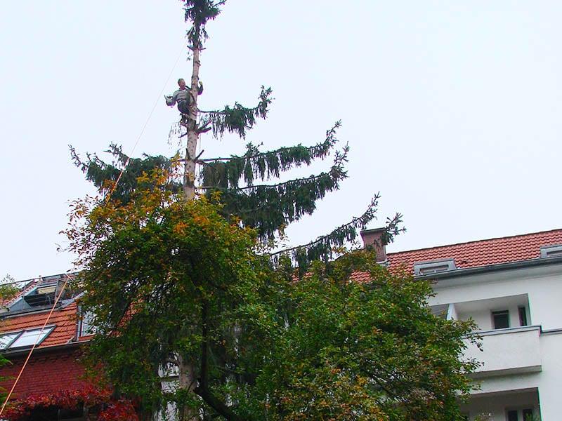 Eine Fichte im Kölner Innenhof